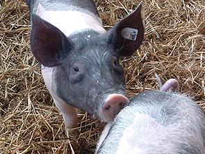 pk-treffen-schweinchen