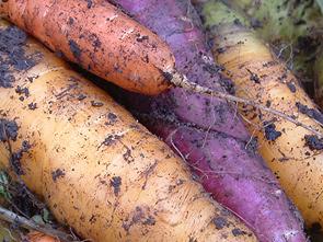 Gelbe Pfälzer, violette Zanahoria Morada, orange Nantasie-Karotte