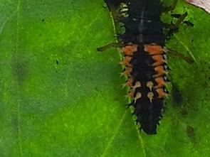 art_nuetzlinge-larve