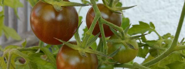 header_tomatenverkreuzung