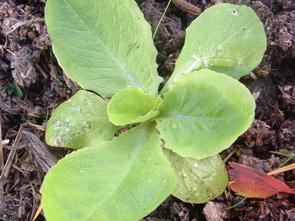 art_GW-salatpflanze